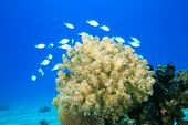 Damselfishes and Acropora Coral poster