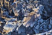 Frozen Oak Leafs . Oak Leaves Covered With Hoarfrost And Lit By The Sun: Abstract Nature Background poster