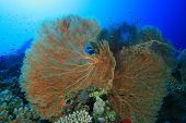 foto of molly  - Gorgonian Fan Corals  - JPG