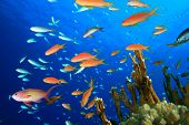 stock photo of damselfish  - Beautiful Tropical Fish on a Coral Reef - JPG