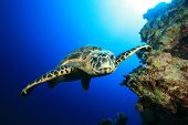 image of sea-turtles  - Underwater Image of Hawksbill Sea Turtle swimming towards the camera - JPG