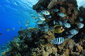 stock photo of sergeant major  - School of Scissortail Sergeant fish on coral reef - JPG