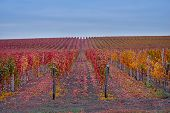 Rows Of Vineyard Grape Vines.autumn Landscape With Colorful Vineyards.grape Vineyards Of Moldova Rep poster