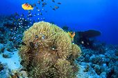 foto of damselfish  - Anemones with Clownfish and Damselfishes on Coral Reef - JPG