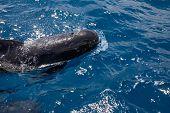 Close Pilot Whales Breathing In Blue Water Of Atlantic Ocean poster