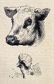 Antique illustrations of cow and rooster heads. Original, from drawing of Blanchard and Lambert, was