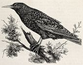 Antique illustration of a starling. Original, from drawing of Lallemand, was published on L'Illustra