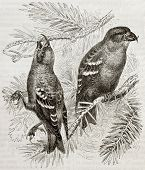 picture of crossbill  - Old illustration of Two - JPG
