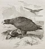 Old illustration of White-tailed Eagle also known as Sea Eagle (Haliaeetus albicilla). Created by Kr poster