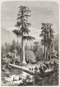 Giant Sequoia old illustration (Sequoiadendron giganteum). Created by Lancelot, published on Le Tour