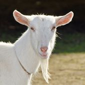 image of goatee  - Goat on the farm - JPG