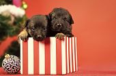 New Year Of Dog, Puppy In Present Christmas Box At Xmas Tree On Red Background, Winter Holiday Celeb poster