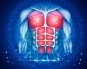 Muscles Of The Human Body, Torso And Arms, Beautiful Colorful Illustration On An Abstract Blue Backg poster
