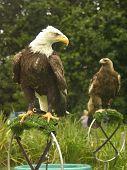Predator Pair Of Birds poster