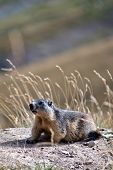 picture of groundhog  - a groundhog lurks on the green meadow - JPG