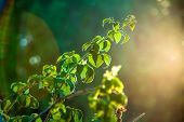 Green Raspberry Leaves On A Branch Of A Bush In The Backlight Of The Sun Halo Aureole, The Natural B poster