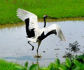 picture of color animal  - crane with gree grass colors in the background  - JPG