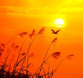 stock photo of bulrushes  - sunset with a flighting bird - JPG