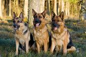 foto of german shepherd dogs  - Tree Germany shepherds sitting on a grass in a wood - JPG