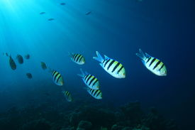 picture of sergeant major  - Sergeant Major Fish shoal with sunrays - JPG