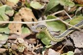 stock photo of harmless snakes  - A garter snake peeking out from leaves - JPG