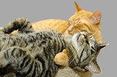 pic of snoopy  - One cat grooming another cat isolated on grey background - JPG