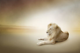 picture of terrestrial animal  - Luxury photo of white lion - JPG