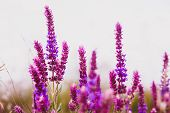 pic of clary  - sage salvia plant purple flower garden nature leaf green blossom medicine bloom - JPG