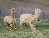 foto of alpaca  - Alpacas are grown for their wool - JPG