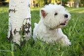 stock photo of westie  - West Highland White Terrier - outdoor scene