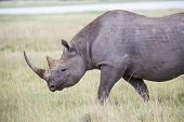 stock photo of rhino  - A close up image of an endangered Black Rhino walking in the savannahs - JPG