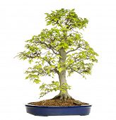stock photo of bonsai tree  - Beech bonsai tree - JPG