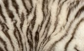 picture of white tiger cub  - Macro of a White tiger fur - JPG