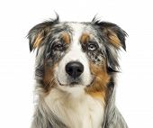 pic of australian shepherd  - Close - JPG