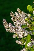 picture of meadowsweet  - Spirea Flowers on dark green background blurred - JPG