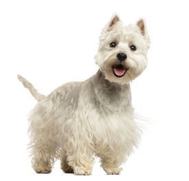 stock photo of westie  - West Highland White Terrier panting - JPG