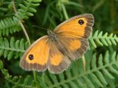stock photo of gatekeeper  - Gatekeeper butterfly on bracken, native to the British Isles ** Note: Slight graininess, best at smaller sizes - JPG