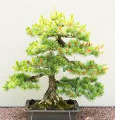 foto of bonsai tree  - Pine tree bonsai on white background in green yellow colors - JPG