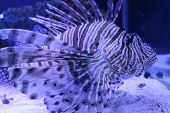 picture of lion-fish  - Full body side view lion fish in blue light - JPG
