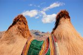 stock photo of humping  - Looking through the humps of a Bactrian camel in the steppes of Mongolia near Gobi desert - JPG