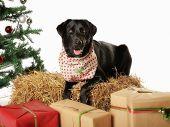 Purebred Labrador poster