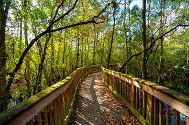 stock photo of collier  - Wooden bridge in a forest Kirby Storter Roadside Park Ochopee Collier County Florida USA - JPG