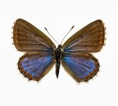 picture of adonis  - isolated butterfly  - JPG