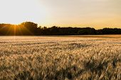 image of tatas  - Wheat field in the sunset  - JPG