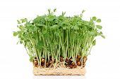 stock photo of bean sprouts  - sprouted pea bean with roots isolated on white background - JPG