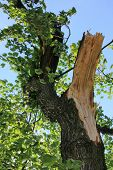 foto of wind blown  - Broken tree blown over by heavy winds at the park - JPG