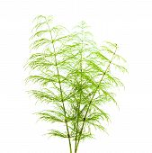 stock photo of horsetail  - horsetail plant thin fronds isolated on white - JPG