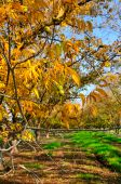 stock photo of pecan tree  - Grove the pecan is a large deciduous tree - JPG