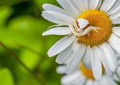 picture of goldenrod  - Goldenrod Crab Spider perched on a plant waiting for prey - JPG