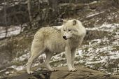 stock photo of horrific  - An Arctic wolf in a forest, fall environment